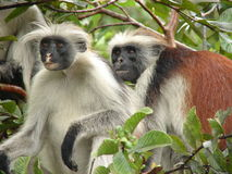 Red colubus monkeys. Damp from the rain in Zanzibar royalty free stock photo