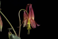 Red Columbine Stock Photography