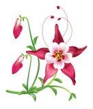 Red columbine Flower Stock Photo