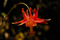 Red columbine flower. With dark background stock images