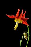 Red columbine flower on black background. Red columbine flower isolated on black background royalty free stock image