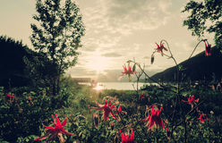 Red columbine in summer Stock Photography