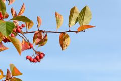 Red Column Firethorn pyracantha coccinea berries. Against blue sky royalty free stock photo