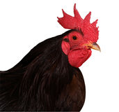 Red Combed Rooster Royalty Free Stock Photos