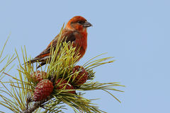 Red (or Common) Crossbill. Male Red (or Common) Crossbill (Loxia curvirostra) in a pine tree with a blue sky Royalty Free Stock Images