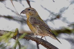 Red (or Common) Crossbill Stock Photography