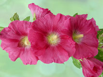 Red common hollyhock Stock Photos