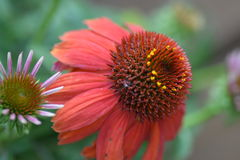 Red cone flower. With small flower Royalty Free Stock Photography