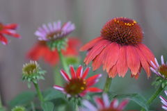 Red cone flower. With small flower Royalty Free Stock Photos