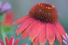 Red cone flower. With small flower Royalty Free Stock Photo