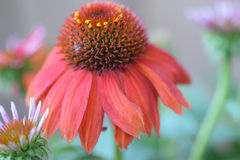 Red cone flower. With small flower Stock Photo