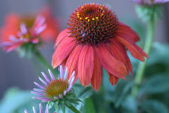 Red cone flower Royalty Free Stock Images