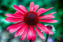Red Coneflower. Royalty Free Stock Photography