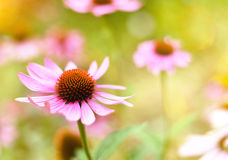 Red coneflowers or purple coneflowers Stock Photography