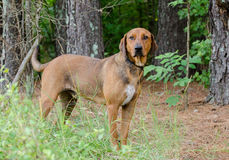 Red Coonhound mixed breed dog Royalty Free Stock Photo
