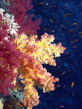 Red Coral. Coral reef in the red sea Stock Photography