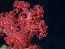 Red Coral. Coral reef in the red sea Stock Images