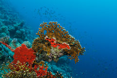 Red Coral. A red hard coral in the Red Sea stock images