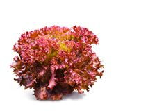 Red Coral Stock Image