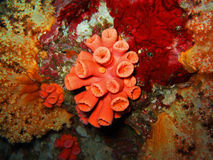 Red coral. The red soft coral. Similan Islands psrk royalty free stock images