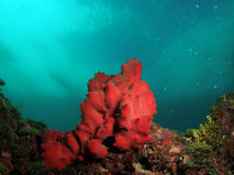 Red Coral. This image was taken at Barracuda Reef off the coast of Dania Beach, Florida royalty free stock image
