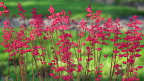 Red coral bells swaying in the wind stock footage