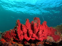Red Coral Blue Water. This red coral was taken about 16 feet in Pompano beach, Florida Stock Images