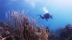 Red coral and diver in the distance. Underwater Coral Reef and Tropical Fish in Bahamas. Amazing, beautiful underwater world Bahamas and the life of its stock footage