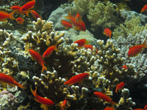 Red coral fishes under water. Underwater scene with coral and red fishes in the Red Sea, Egypt. Dive location: Masharaba, near Dahab Royalty Free Stock Photo