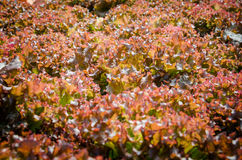 Red-coral lettuce. Garden under sunlight Stock Photos