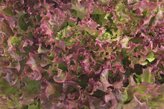 Red coral lettuce - Lola Rosa Stock Images