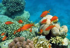 Red coral perch. Of the Red Sea corals Royalty Free Stock Photography