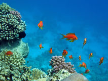 Red coral perch. Of the Red Sea in the natural environment Stock Image