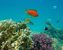 Red Coral Perch (male). At the coral reef Stock Images