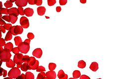Red coral pink rose petals pattern on white background, isolated. Flat lay, top view, copy space. Valentine`s day, party, wedding, holiday, romance beauty stock image