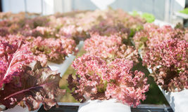 Red coral plants on hydrophonic farm Stock Images