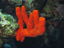 Red coral in the Red Sea, Egypt. Dive location: Masharaba near Dahab Royalty Free Stock Photos
