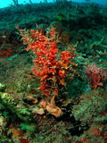Red Coral Reef. Some red coral at 45 feet off the coast of south Florida royalty free stock photos
