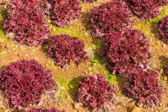Red Coral Salad organic vegetable Royalty Free Stock Image