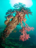 Red coral on shipwreck Royalty Free Stock Images