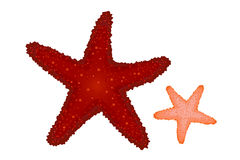 Red and Coral Starfishes. Vector Stock Photo