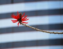 Red Coral Tree Flower. Against a background of building windows Royalty Free Stock Images