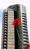 Red coral tree flower and building. Red coral tree flower with a background of a tall glass building in San Diego, California royalty free stock images