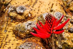 Red coral tree flower and trunk Royalty Free Stock Photography