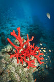 Red coral on tropical reef Royalty Free Stock Images