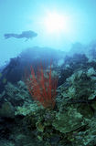 Red coral watched by divers. Red coral in a reef under sunrays and watched by a pair of scuba divers Royalty Free Stock Images