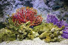 Red corals in aquarium at Siam Paragon, Bangkok Royalty Free Stock Images
