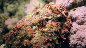 Red corals on sandy bottom deep underwater in sea of Egypt. stock footage