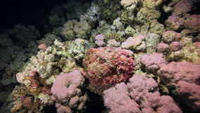 Red corals on sandy bottom deep underwater in sea of Egypt. stock video