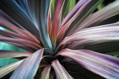 Red Cordyline Close Up Royalty Free Stock Photography